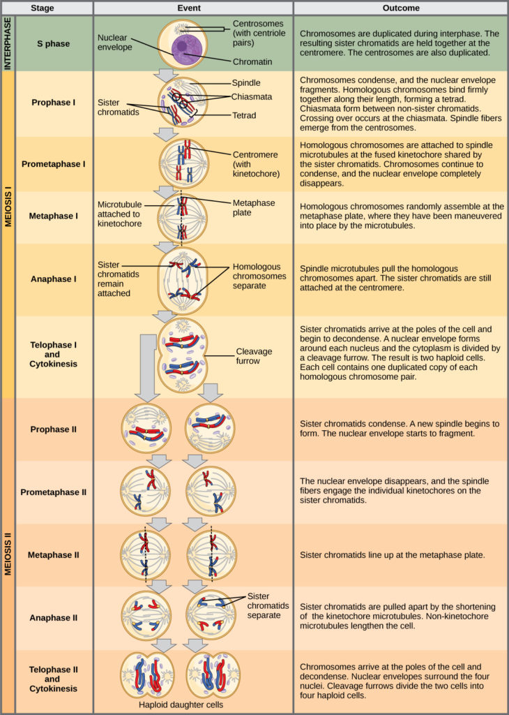 what is the importance of crossing over in meiosis