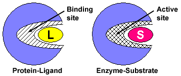 A protein enveloping a ligand with a binding site (protein-ligand). An enzyme enveloping a substrate with an active site (enzyme-substrate).