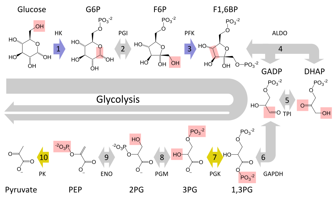 The metabolic pathway of glycolysis converts glucose to pyruvate by via a series of intermediate metabolites. Each chemical modification (red box) is performed by a different enzyme. Steps 1 and 3 consume ATP (blue) and steps 7 and 10 produce ATP (yellow). Since steps 6-10 occur twice per glucose molecule, this leads to a net production of energy.