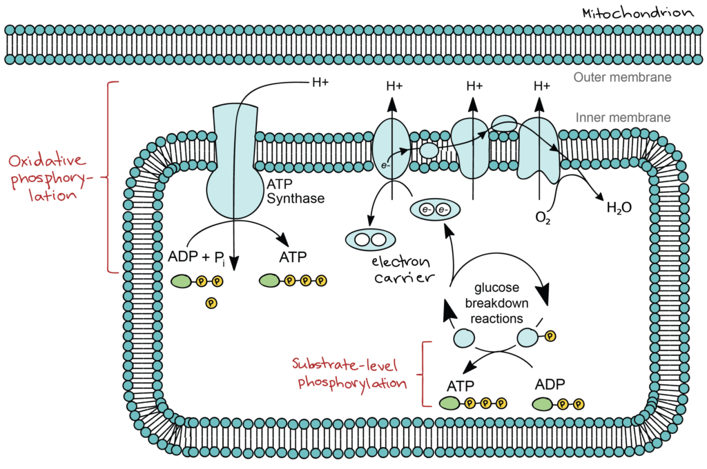 Simplified diagram showing oxidative phosphorylation and substrate-level phosphorylation during glucose breakdown reactions. Inside the matrix of the mitochondrion, substrate-level phosphorylation takes place when a phosphate group from an intermediate of the glucose breakdown reactions is transferred to ADP, forming ATP. At the same time, electrons are transported from intermediates of the glucose breakdown reactions to the electron transport chain by electron carriers. The electrons move through the electron transport chain, pumping protons into the intermembrane space. When these protons flow back down their concentration gradient, they pass through ATP synthase, which uses the electron flow to synthesize ATP from ADP and inorganic phosphate (Pi). This process of electron transport, proton pumping, and capture of energy from the proton gradient to make ATP is called oxidative phosphorylation.