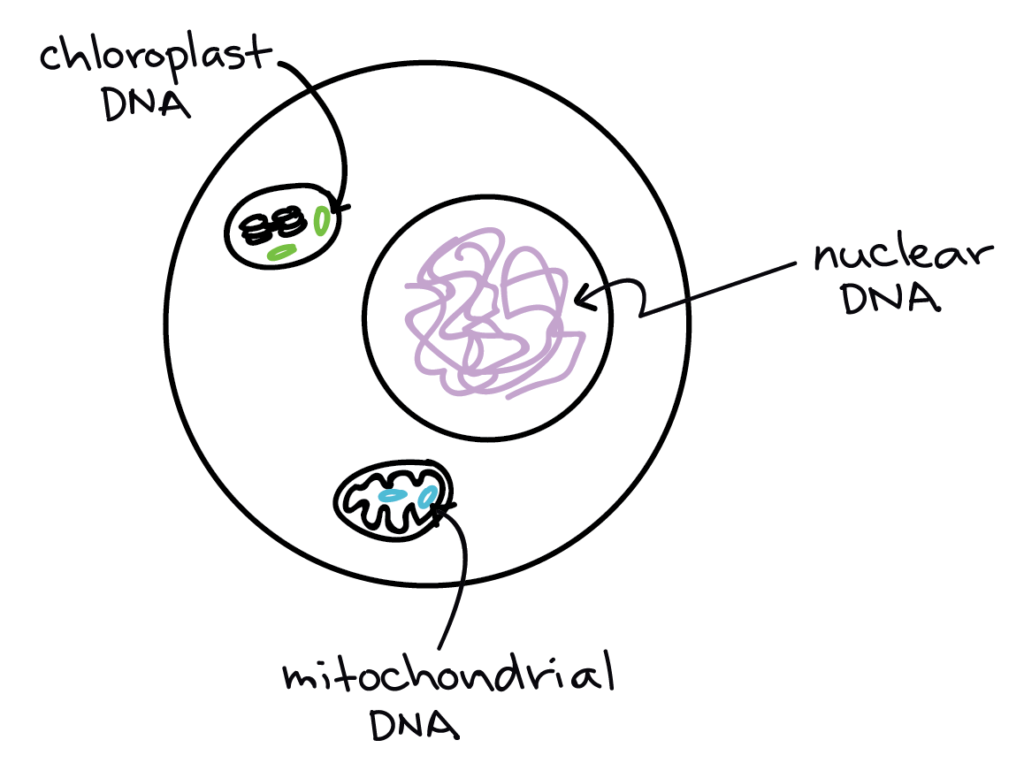 Image of a eukaryotic cell, showing the nuclear DNA (in the nucleus), the mitochondrial DNA (in the mitochondrial matrix, and the chloroplast DNA (in the stroma of the chloroplast.