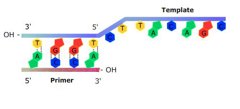 Diagram of a primer moving along the template strand of DNA.