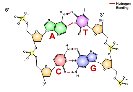 Structure of DNA double helix. Sugar-phosphate backbone is shown in yellow, specific base pairings via hydrogen bonds (red lines) are colored in green and purple (A-T pair) and red and blue (C-G).