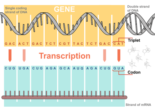 4 steps of transcription
