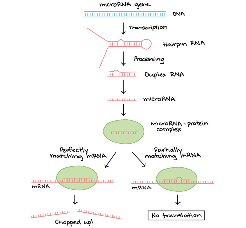 Diagram of where miRNAs come from and and how they regulate targets. First a microRNA precursor is transcribed from a microRNA gene. The precursor folds into a hair pin, which is then processed by enzymes so it is a short Duplex double stranded RNA that's imperfectly complementary. One strand of this duplex is the miRNA, which associates with a protein to form a microRNA-protein complex. The miRNA directs the protein complex to mRNAs that are partially or fully complementary to the miRNA. When the miRNA is perfectly complementary to the mRNA, the mRNA is often cut in two by an enzyme in the protein complex. When the miRNA is not perfectly complementary to the mRNA, the miRNA complex may remain bound to the mRNA and block translation.