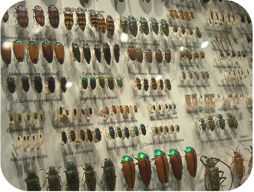 A display showing dozens of beetle varieties. Most species have four specimens. They range in size, color, and body structure.