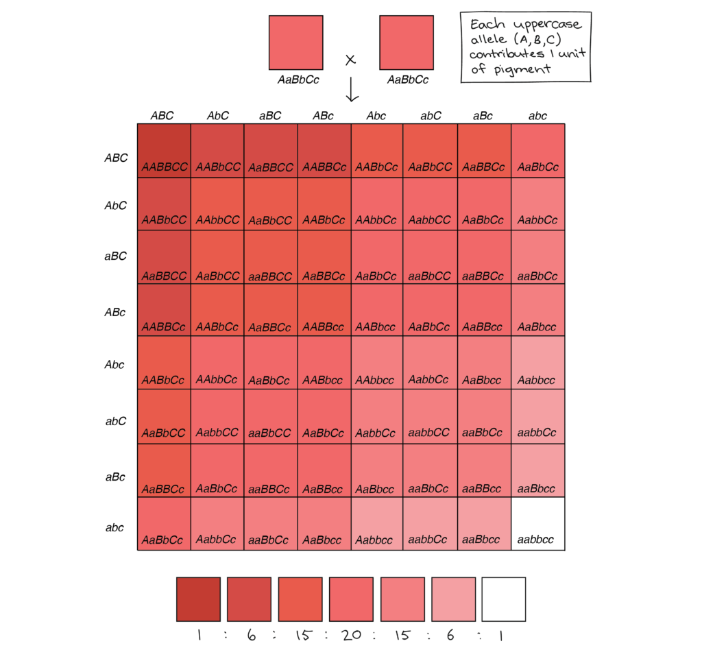 64-square Punnett square illustrating the phenotypes of the offspring of an AaBbCc x AaBbCc cross (in which each uppercase allele contributes one unit of pigment, while each lowercase allele contributes zero units of pigment). Of the 64 squares in the chart: 1 square produces a very very dark red phenotype (six units of pigment) 6 squares produce a very dark red phenotype (five units of pigment) 15 squares produce a dark red phenotype (four units of pigment). 20 squares produce a red phenotype (three units of pigment) 15 squares produce a light red phenotype (two units of pigment) 6 squares produce a very light red phenotype (one unit of pigment) 1 square produces a white phenotype (no units of pigment)