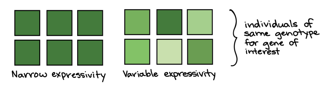Narrow expressivity: all six squares are dark green. Variable expressivity: the six squares are various shades of green. The squares in each example are intended to represent individuals of the same genotype for the gene of interest.