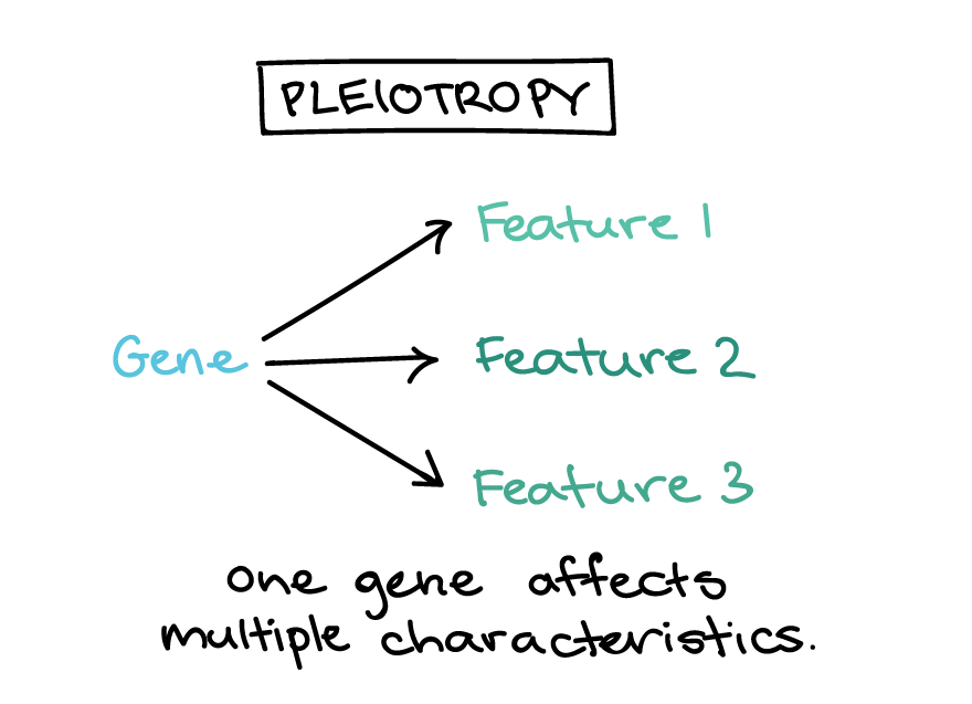 Simple schematic illustrating pleiotropy. In pleiotropy, one gene affects multiple features (feature 1, feature 2, feature 3. Caption: One gene affects multiple characteristics.