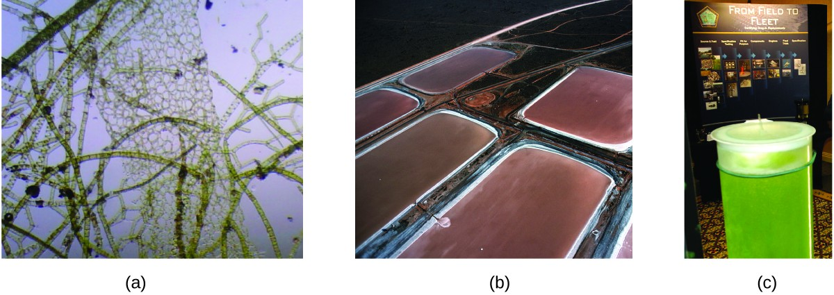 """Three pictures are shown and labeled a, b, and c. Picture a shows a microscopic view of algal organisms. They are brown, multipart strands and net-like structures on a background of light violet. Picture b shows five large tubs full of a brown liquid containing these algal organisms. Picture c depicts a cylinder full of green liquid in the foreground and a poster in the background that has the title """"From Field to Fleet."""""""