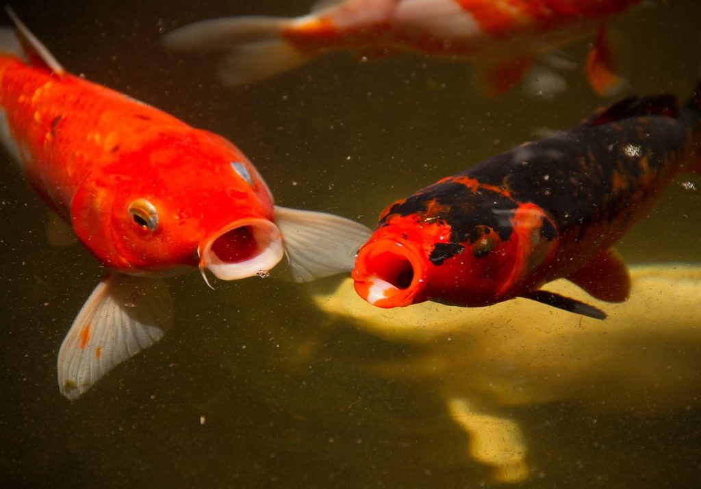 Two orange koi at the top of a pond, mouths open. Others are swimming beneath them.