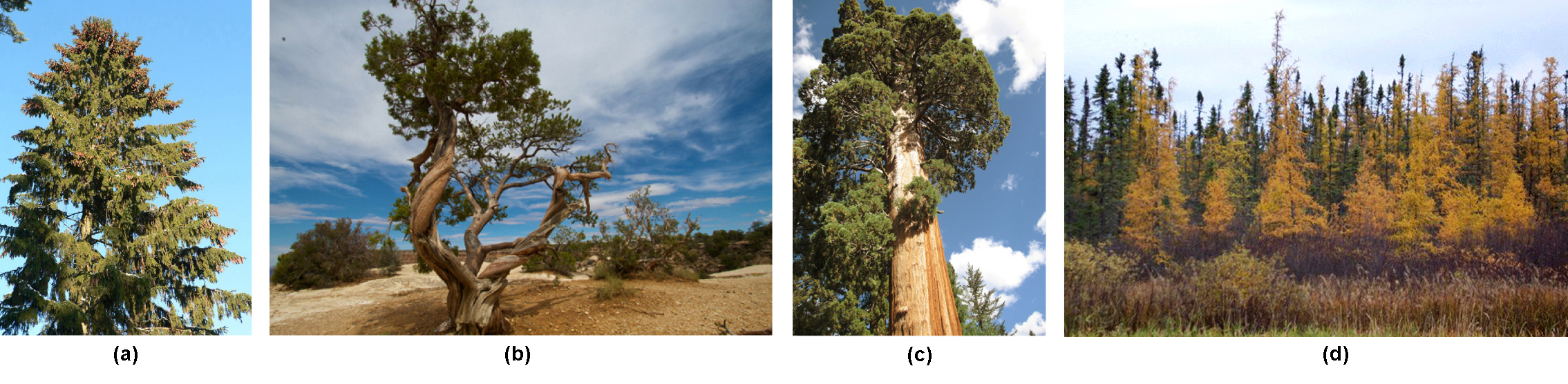 Photo A shows a juniper tree with a gnarled trunk. Photo B shows a sequoia with a tall, broad trunk and branches starting high up the trunk. Photo C shows a forest of tamarack with yellow needles. Photo D shows a tall spruce tree covered in pine cones. Photo B. Photo C Part D
