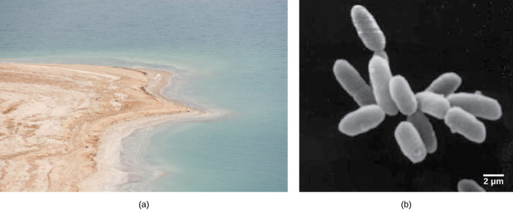Photo A shows the Dead Sea and its accompanying brown shoreline. Micrograph B shows rod-shaped halobacteria.
