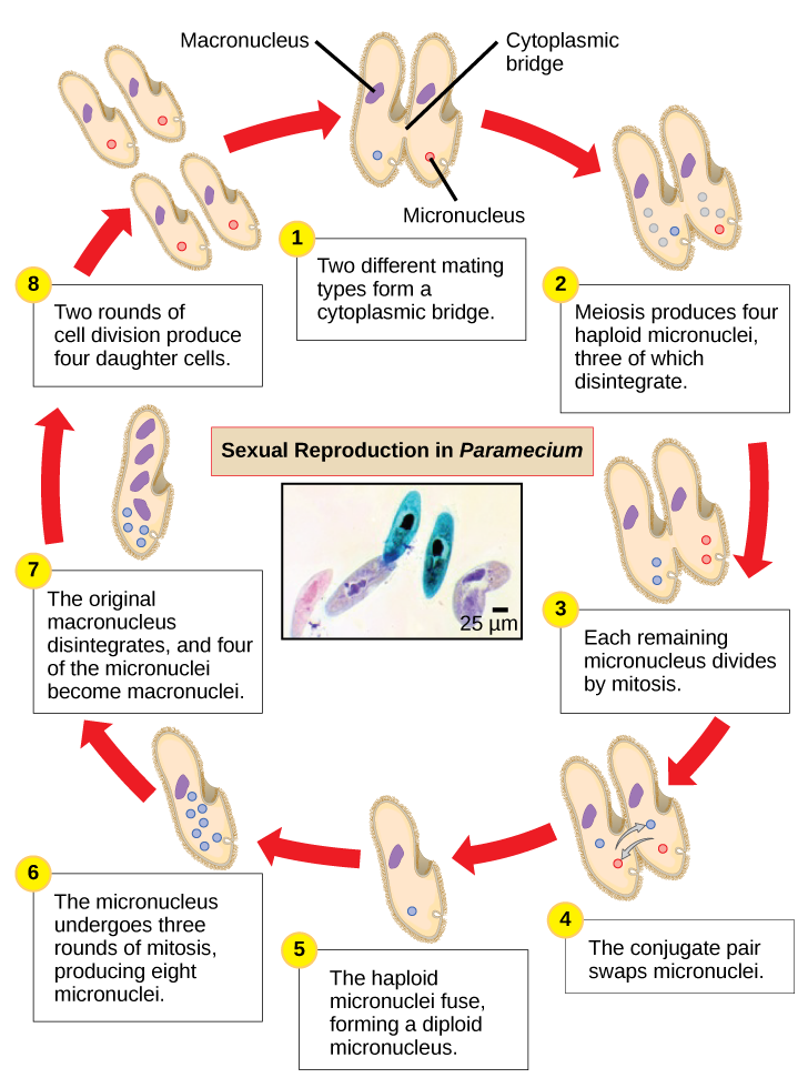 The illustration shows the life cycle of Paramecium. The cycle begins when two different mating types form a cytoplasmic bridge, becoming a conjugate pair. Each Paramecium has a macronucleus and a micronucleus. The micronuclei undergo meiosis, resulting in four haploid micronuclei in each parent cell. Three of these micronuclei disintegrate. The remaining micronuclei divide once by mitosis, resulting in two micronuclei per cell. The parent cells swap one of these micronuclei. The two haploid micronuclei then fuse, forming a diploid micronucleus. The micronucleus undergoes three rounds of mitosis, resulting in eight micronuclei. The original macronucleus dissolves, and four of the micronuclei become macronuclei. Two rounds of cell division result in four daughter cell per each parent cell, each with one macronucleus and one micronucleus.