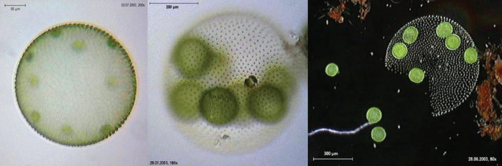 The micrograph on the left shows a sphere about 400 microns across with round green cells about 50 microns across inside. The middle micrograph shows a similar view at higher magnification. The micrograph on the right shows a broken sphere that has released some of the cells, while other cells remain inside.