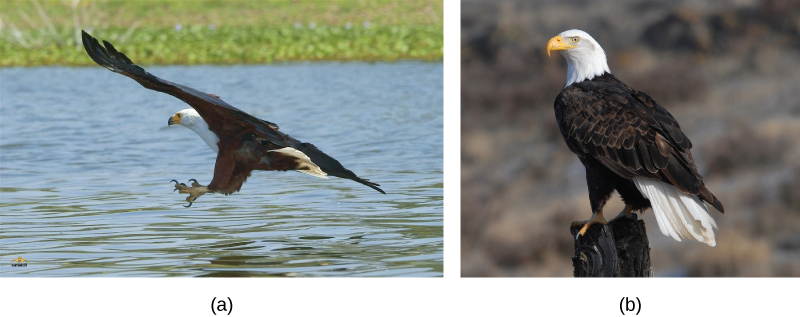 Photo a shows a picture of the African fish eagle in flight, and photo b shows the bald eagle perched on a post.
