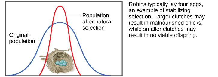 Shows a robin clutch size as an example of stabilizing selection. Robins typically lay four eggs. Larger clutches may result in malnourished chicks, while smaller clutches may result in no viable offspring. A wide bell curve indicates that, in the original population, there was a lot of variability in clutch size. Overlaying this wide bell curve is a narrow one that represents the clutch size after natural selection, which is much less variable.