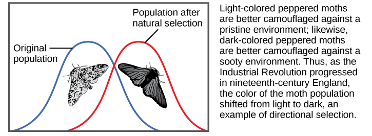 Shows moth color as an example of directional selection. Light-colored pepper moths are better camouflaged against a pristine environment, while dark-colored peppered moths are better camouflaged against a sooty environment. Thus, as the Industrial Revolution progressed in nineteenth-century England, the color of the moth population shifted from light to dark, an example of directional selection. A bell curve representing the original population and one representing the population after natural selection only slightly overlap.