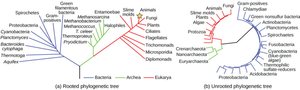 Phylogenetic trees biology for majors ii the phylogenetic tree in part a is rooted and resembles a living tree with a ccuart Image collections