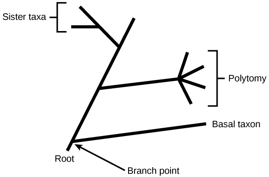 Phylogenetic trees biology for majors ii illustration shows a phylogenetic tree that starts at a root indicating that all organisms on ccuart