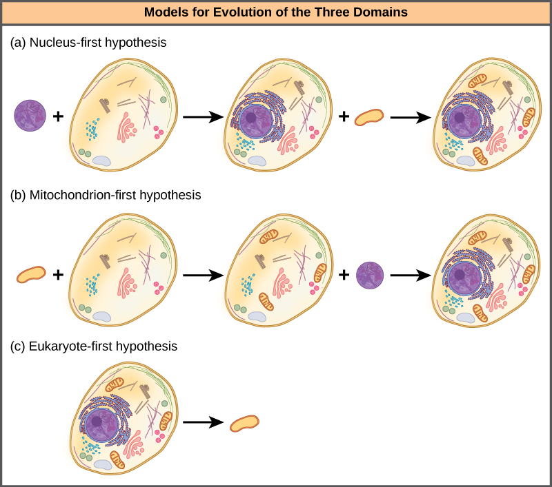 Part A shows the nucleus-first hypothesis. According to this hypothesis, a primary endosymbiotic event resulted in an ancestral eukaryotic cell acquiring a nucleus, and a secondary endosymbiotic event resulted in the acquisition of a mitochondrion. Part B shows the mitochondrion-first hypothesis. According to this hypothesis, the mitochondrion was acquired before the nucleus, but both were acquired by endosymbiosis. Part C shows the eukaryote-first hypothesis. According to this hypothesis, prokaryotes evolved from eukaryotic cells that lost their nuclei and organelles.