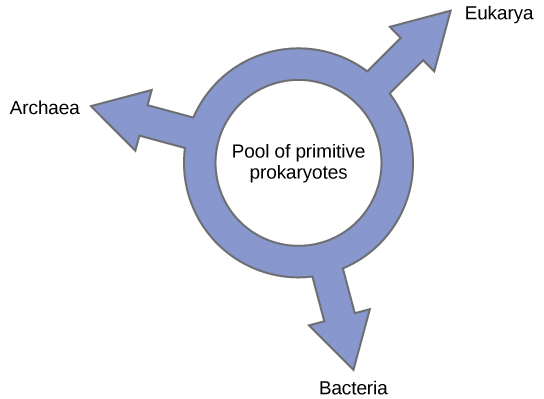 "Illustration shows a ring with the words ""pool of primitive prokaryotes"" in the middle. Three arrows point outward from the ring, pointing at the three domains, Bacteria, Archaea, and Eukarya, indicating that all three domains arose from a common pool of prokaryotes."