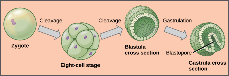 The left part of the illustration shows a single-celled zygote. The initial cleavage, or cell division, results in a ball of cells, called the eight-cell stage. The cells do not grow during cleavage, so the eight-cell stage ball is about the same diameter as the zygote. Further cleavage results in a hollow ball of cells called a blastula. Upon gastrulation, part of the ball of cells invaginates, forming a cavity called a blastopore.