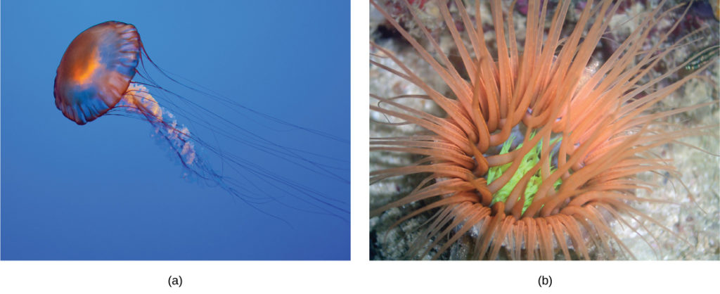 Part a shows a jellyfish with long, slender tentacles, radiating from a flexible, disc-shaped body. Part b shows an anemone sitting on the sea floor with thick tentacles, radiating up from a cup-shaped body.