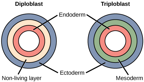 The left illustration shows the two embryonic germ layers of a diploblast. The inner layer is the endoderm, and the outer layer is the ectoderm. Sandwiched between the endoderm and the ectoderm is a non-living layer. Right illustration shows the three embryonic germ layers of a triploblast. Like the diploblast, the triploblast has an inner endoderm and an outer ectoderm. Sandwiched between these two layers is a living mesoderm.