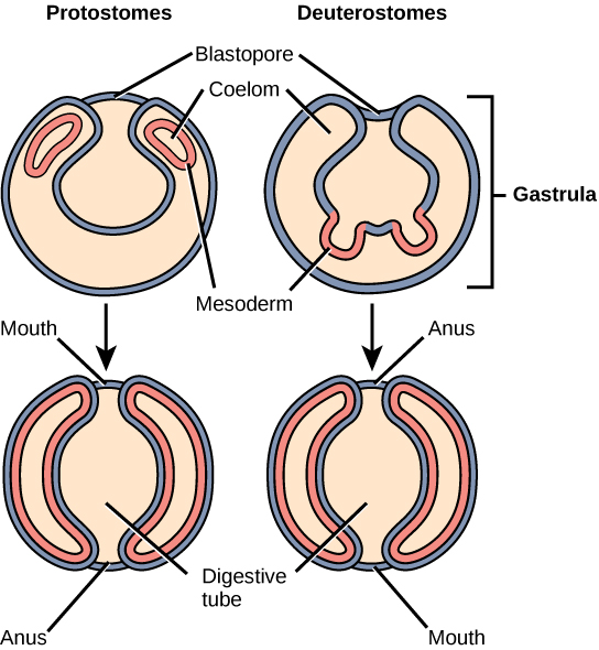 The illustration compares the development of protostomes and deuterostomes. In both protostomes and deuterostomes, the gastrula, which resembles a hollow ball of cells, contains an indentation called a blastopore. In protostomes, two circular layers of mesoderm form inside the gastrula, containing the coelom cavity. As the protostome develops, the mesoderm grows and fuses with the gastrula cell layer. The blastopore becomes the mouth, and a second opening forms opposite the mouth, which becomes the anus. In deuterostomes, two groups of gastrula cells in the blastopore grow inward to form the mesoderm. As the deuterostome develops, the mesoderm pinches off and fuses, forming a second body cavity. The body plan of the deuterostome at this stage looks very similar to that of the protostome, but the blastopore becomes the anus, and the second opening becomes the mouth.