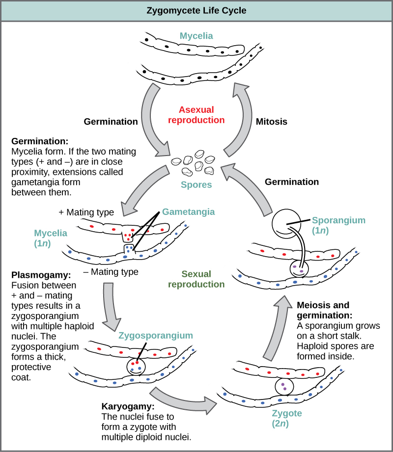 The asexual and sexual life cycles of zygomycetes are shown. In the asexual life cycle, 1n spores undergo mitosis to form long chains of cells called mycelia. Germination results in the formation of more spores. In the sexual life cycle, spores germinate to form mycelia with two different mating types: plus and minus. If the plus and minus mating types are in close proximity, extensions called gametangia form between them. In a process called plasmogamy, the gametangia fuse to form a zygosporangium with multiple haploid nuclei. A thick, protective coat forms around the zygosporangium. In a process called karyogamy, the nuclei fuse to form a zygote with multiple diploid (2n) nuclei. The zygote undergoes meiosis and germination. A sporangium grows on a short stalk. Haploid spores are formed inside. The spores germinate, ending the cycle.