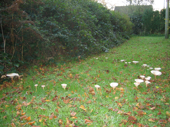 Photo shows toadstools growing in a ring on a lawn.