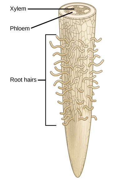 Illustration shows a root tip. The tip of the root is bare, and hairs grow further up. A cross section at the top of the root reveals xylem tissue interspersed by four ovals containing phloem at the periphery.