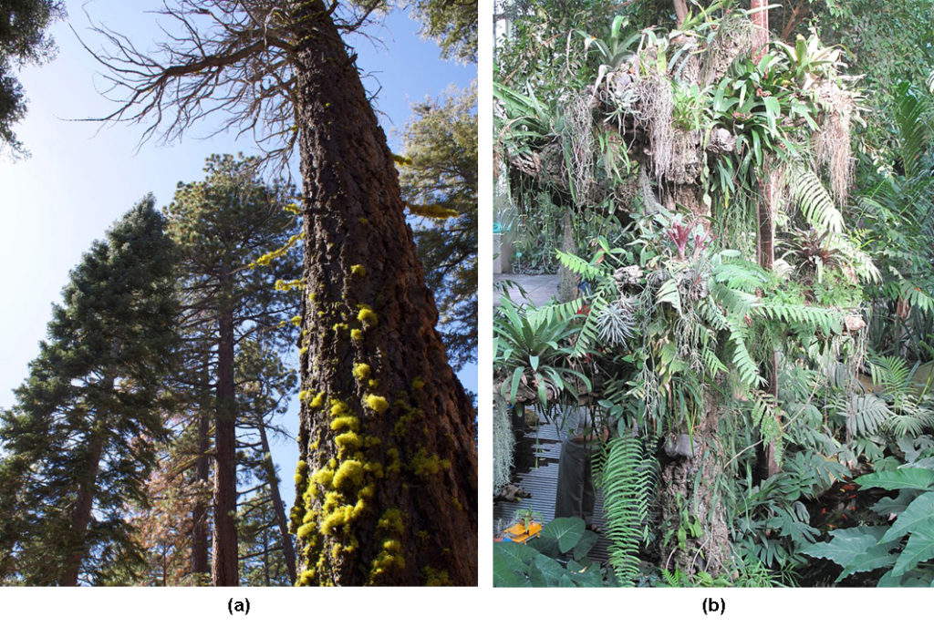 Photo (a) shows a tall pine tree covered with green lichen. Photo (b) shows a tree trunk covered with epiphytes, which look like ferns growing on the trunk of a tree. There are so many epiphytes the trunk is nearly obscured.