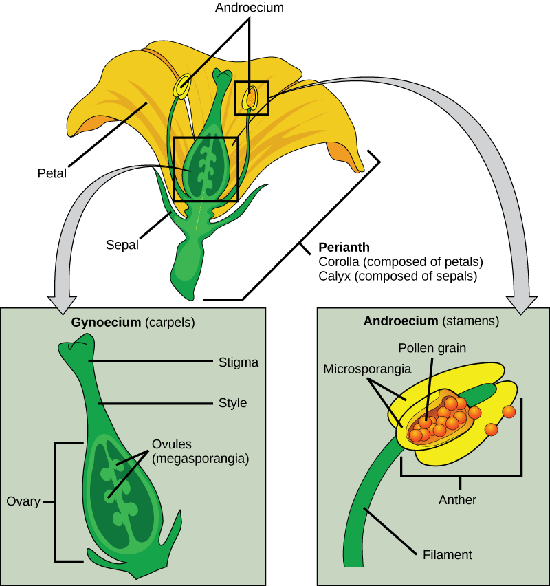 Flower structure biology for majors ii illustration shows parts of a flower which is called the perianth the corolla is ccuart Choice Image