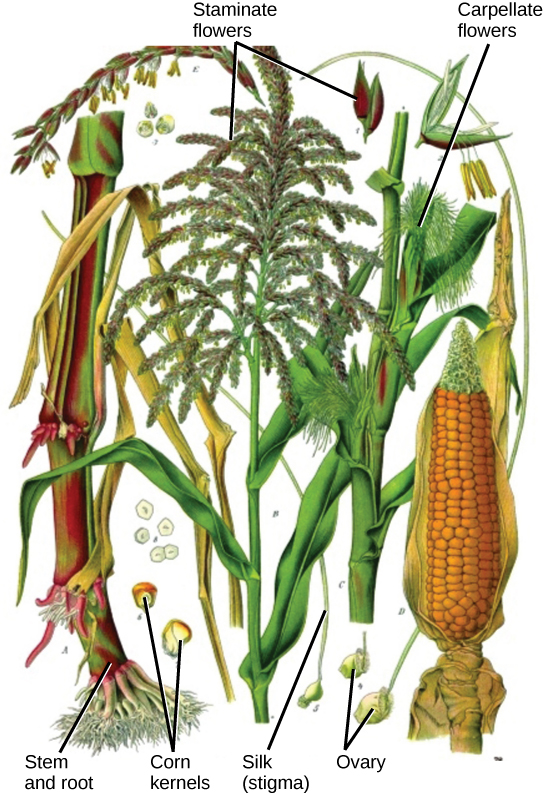 Flower structure biology for majors ii illustration shows parts of a corn plant pistillate flowers are tiny flowers that cluster in ccuart Choice Image
