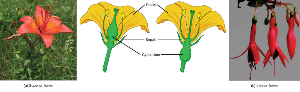 Flower Structure Biology For Majors Ii