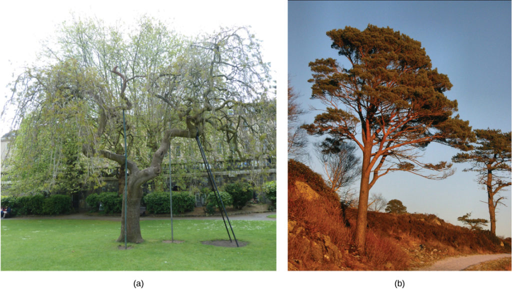 Photo A shows a deciduous tree that loses its leaves in winter. Photo B shows a conifer: a tree that has needles year round.