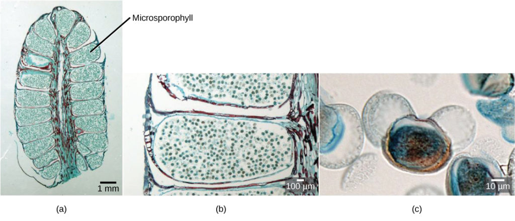 Part a shows a cross section of a male cone, which is oval with a flattened bottom. A stem-like structure runs up the middle, and oblong microsporophylls radiate from either side. Migrograph b shows a blowup of a microsphorphyll, which is filled with round pollen grains. Micrograph C shows a blowup of a pollen grain, which is oval with two lobes and resembles Mickey Mouse.