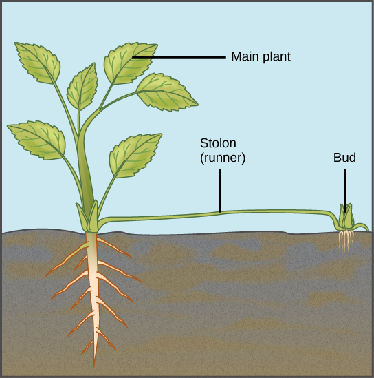 Leaf cutting asexual propagation of plant