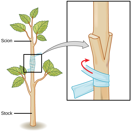 Grafting method of vegetative propagation asexual reproduction