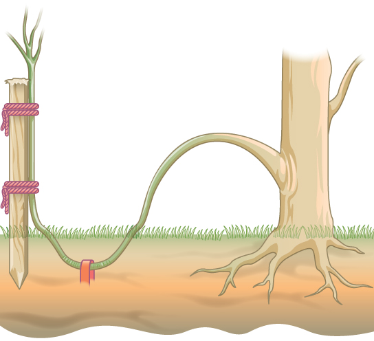 Illustration shows a plant with a stem that has been bent and buried beneath the soil. A stake holds the end of the stem up so that it can form a new upright plant.