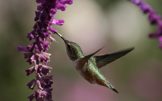 Photo depicts a hummingbird drinking nectar from a flower.