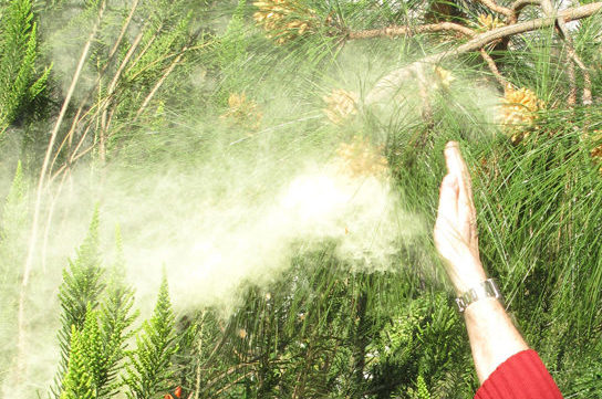 Photo shows a person knocking a cloud of pollen from a pine tree.