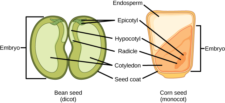 development seeds and fruit biology for majors ii Monocot and Dicot Seed Diagram illustration shows the structure of a monocot corn seed and a dicot bean seed the