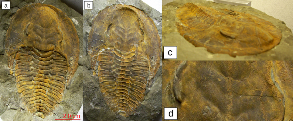 Parts a–d show four trilobite fossils. All are teardrop shaped, with a smooth wide end. About one-third of the way down, the body is segmented into horizontal ridges.