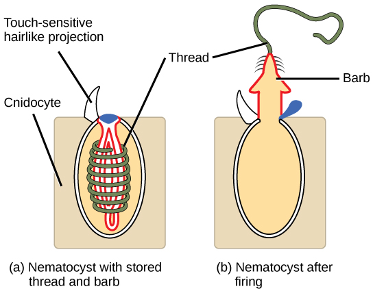 The illustration shows a nematocyst before (a) and after (b) firing. The nematocyst is a large, oval organelle inside a rectangular cnidocyte cell. The nematocyst is flush with the plasma membrane, and a touch-sensitive hairlike projection extends from the nematocyst to the cell's exterior. Inside the nematocyst, a thread is coiled around an inverted barb. Upon firing, a lid on the nematocyst opens. The barb pops out of the cell and the thread uncoils.