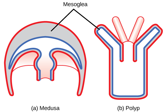 The Illustration Compares Medusa A And Polyp B Body Plans Figure 2