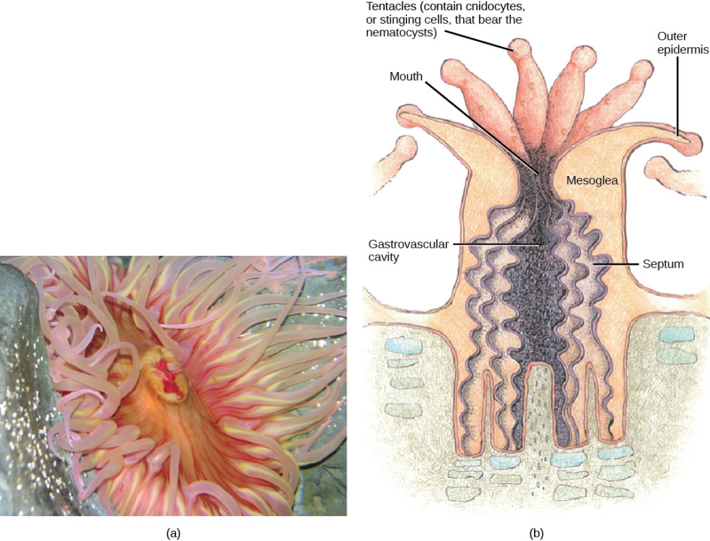 Classes In The Phylum Cnidaria Biology For Majors Ii