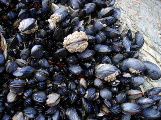 The photo shows black and gray mussels clustered together. Figure 3. These mussels, found in the intertidal zone in Cornwall, England, are bivalves. (credit: Mark A. Wilson)